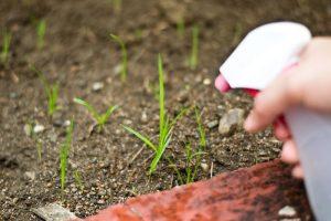 Избавиться от сорняка уксусом
