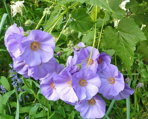 Абутилон виноградолистный (Abutilon vitifolium)