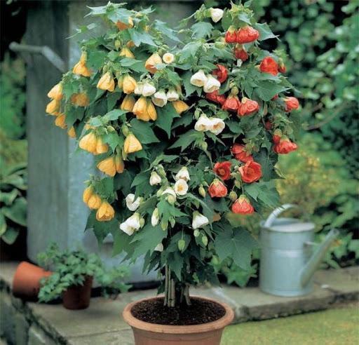 Абутилон гибридный (Abutilon hybridum)