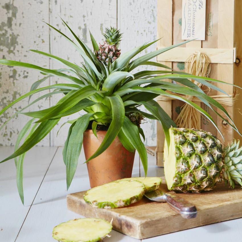 Комнатный ананас